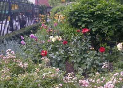 June Dahlias Jefferson Market Park  Greenwich Village, New York