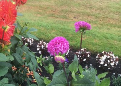 New Zealand Border Dahlias