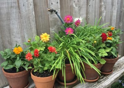 Container Dahlias